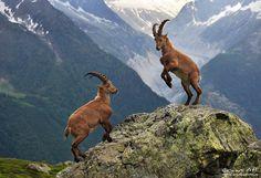 Ibex Alps