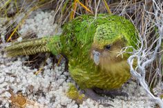 """An absolutely stunning bird, the plumage is just a surreal blend of colour and pattern"" http://b1rder.blogspot.com/2013/02/codfish-and-kakapo.html#"