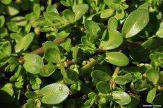 Flora Bonaerense: Bacopa (Bacopa monnieri)