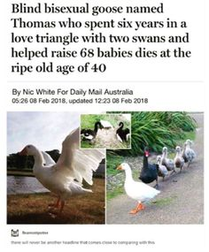 Omg this sounds like the goose that lives with a family of ducks near my house! .....but he's alive.