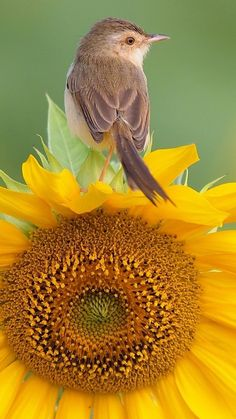 Download Wallpaper 1080x1920 bird, sunflower, sit Sony Xperia Z1, ZL, Z, Samsung Galaxy S4, HTC One HD Background