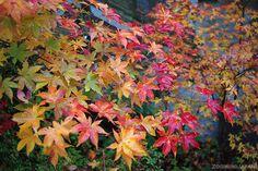 mount koya autumn leaves