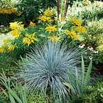 Blue oat grass, Helictotrichon sempervirens