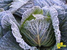 El clima de León conserva los repollos frescos durante todo el invierno, una verdura que la puedes consumir durante todo el año. http://www.lahuertadeanamary.com/hortalizas-y-conservas/hortalizas-2/coles-1/repollo-11.html