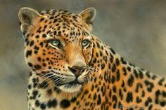 Tension - Leopard - by Rebecca Latham