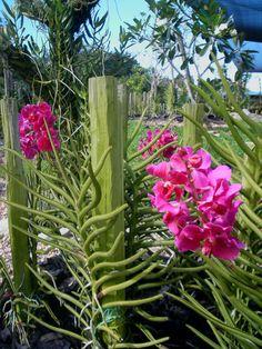 Vanda Prchids | da Love of Orchids: Vanda Taib