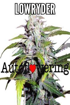 134 Best Buy Weed images in 2019 | Buy weed, Cannabis, Seeds