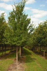 Elm 'Allee' « Southern Charm Nursery $60 9'-11' in 15 gallon pot..easy to maintain fast grower