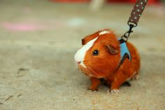 Oh hi, I'm an immensely cute guinea pig on a polka dot leash, just stopping by to brighten your day