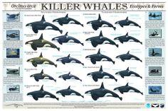 Orcas: ecotipos y formas. Póster del NOAA http://www.nmfs.noaa.gov/pr/species/mammals/cetaceans/killerwhale.htm