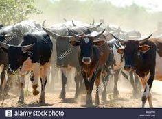 Image result for nguni cattle