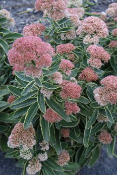 Sedum 'Frosted Fire' (Frosted Fire Stonecrop)