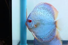 Photo gallery of Discus fish - Live Tropical Fish - Live Tropical Fish Discus Aquarium, Tropical Fish Aquarium, Discus Fish, Aquarium Fish Tank, Freshwater Aquarium, Acara Disco, Fish Gallery, Birthday Wishes And Images, Angelfish