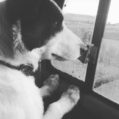 Sweep is pretty excited to be feeding calves today. #krosecattle #bordercollie #montana #montanamoment #farm365 #cattle To be the rancher's best advocates by marketing their cattle to the right people, at the right time with honest details.
