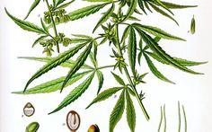 ¿Qué beneficios puede ofrecer la marihuana medicinal en la lucha contra el cáncer? lee la nota haciendo click en el link.