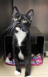 Gizmo is an adoptable Domestic Short Hair Cat in Chicago, IL. Say hello to Gizmo! Loaded with fun kitten energy, Gizmo came to the shelter when his owner had too many cats and couldn't keep him. Gizmo...