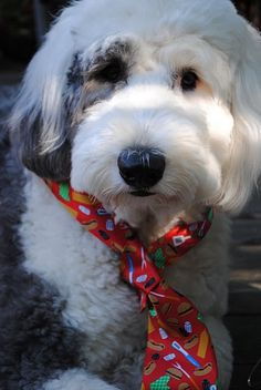 Happy Father's Day from an Old English Sheepdog