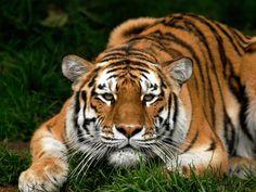 tiger-face-big-cat-carnivore-walk-1152x864.jpg (1152×864)
