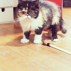 Catster is for cat owners and lovers. Find info on vets or breeds or laugh at funny cats. Use the groups and forums to connect and share with friends. Exotic Shorthair, British Shorthair, 3 Month Old Baby, 3 Month Olds, Cute Little Animals, Cutest Thing Ever, Funny Faces, Animals Beautiful, Cats Of Instagram