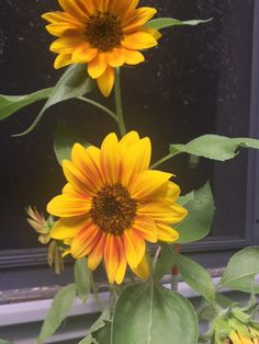 How to grow sunflowers from seeds! Looking for ways to grow an eye-catching, manicured, and budget friendly garden this summer? Use my step-by-step guide on how to start, grow, and plant sunflowers from seeds for beautiful blooms throughout the summer! Planting Sunflower Seeds, Sunflower Seedlings, Planting Sunflowers, Red Sunflowers, Planting Seeds, Growing Sunflowers From Seed, Night Blooming Flowers, Sun Flowers, Wild Sunflower