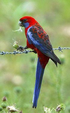 Crimson Rosella. Photo from the Australian Birdlife Photo Library by Greg Holland & Leon Keasey via birdphotos.com.au.