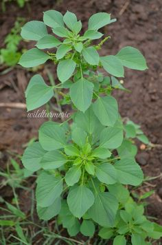 10 Top Medicinal Uses & Benefits Of Kuppaimeni (Acalypha Indica) - Wildturmeric Ayurvedic Plants, Ayurvedic Home Remedies, Home Health Remedies, Natural Health Remedies, Herbs For Health, Plant Health, Healing Herbs, Medicinal Plants, Herbal Plants