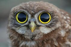 Why do we take such notice and love these yellow-rimmed owl eyes?