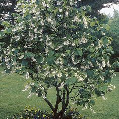 Flowering Snowbell (Styrax obassia) is a medium growing tree feet tall and wide) with large leaves and clusters of fragrant white flowers in June. Deciduous Trees, Trees And Shrubs, Flowering Trees, Trees To Plant, Garden Shrubs, Garden Trees, Fringe Tree, Fine Gardening, Palmiers