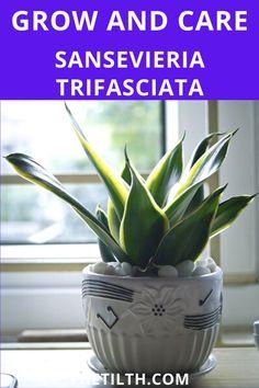 Snake Plant Succulent (Sansevieria Trifasciata). Sansevieria Trifasciata, Types Of Succulents, Succulent Care, Snake Plant, Tropical, Plants, Plant, Planets