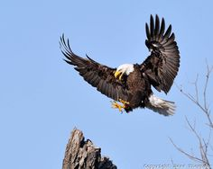 Bald Eagles of Llano, TX - Images | Cottonwood Photography