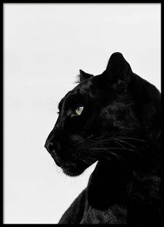 Black Panther Poster in the group Posters & Prints / Insects & animals at Desenio AB Black Panther Poster, Black Panther Drawing, Black Panther Tattoo, Panther Tattoos, Panther Print, Black Panthers, Black And White Aesthetic, Purple Aesthetic, Tattoo Pantera