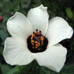 Hibiscus Simply Love Flower Seeds (Hibiscus Trionum) 25+Seeds - Under The Sun Seeds  - 2