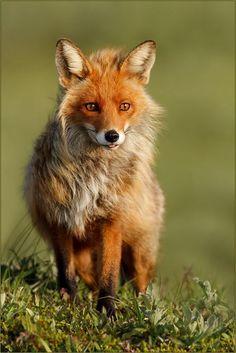 Sassy Fox #foxes #fox #cute #animals #cubs #cutie #wow #lol #gift #gifts #shirt #foxy #furry #animal #fuchs #füchse #raposo #renard