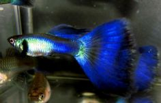 Blue Metallic Deltatail Guppy.  WOW!!!  I would LOVE some of these!!!