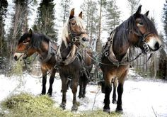 North Swedish horses, hooked to harness in the snow.