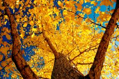 """""""Golden Ginkgo"""" - photo by Teruo Araya via purple leaves What A Wonderful World, Beautiful World, Outdoor Photography, Art Photography, Fall Pictures, Autumn Photos, Yellow Leaves, Mellow Yellow, Natural World"""