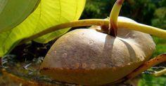 cara-moela-encontrado-em-parques-e-pracas-de-sao-paulo- Planta trepadeira, produz tubérculos aéreos de cores branca, creme, roxa ou amarela.É rico em proteínas, carboidratos e potássio e alimento básico na Nigéria.