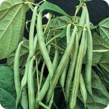 100 Blue Lake Pole Bean Heirloom Seeds COMB S//H