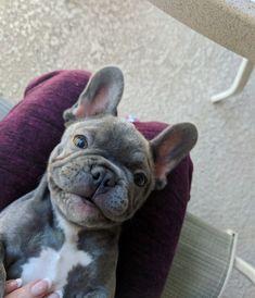 """Brutus"" www.PoeticFrenchBulldogs.com . #FrenchBulldog #PoeticFrenchies #Frenchie #Frenchies #bluefrenchbulldog #Miami #FL #bluefrenchbulldogpuppy #puppies"