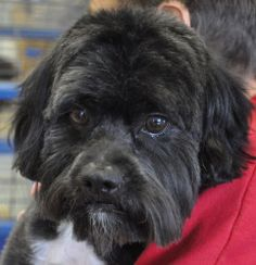 Shaggy is an adoptable Schnauzer Dog in Thief River Falls, MN. Est. birth date of Sept. 2010.  Shaggy loves to go for rids (he sits nicely in the back seat).  Good with other dogs & cats.  He learns r...