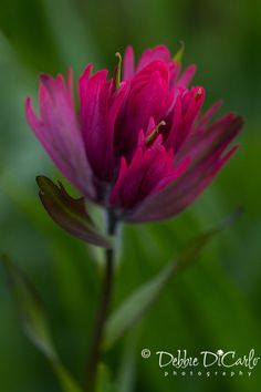 Indian Paintbrush Wildflower - multiple print sizes available. $25.00 for 12 x 18 size