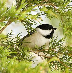 lovely little chicadee ~ so sweet in the greenery :)