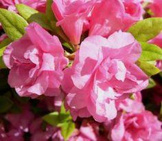 Rhododendron  'Lorna'