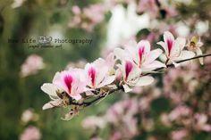 Cherry blossom, royal oaks trail, duarte ca, nature, still life photography, flowers, photographer, newlifeproductions.info