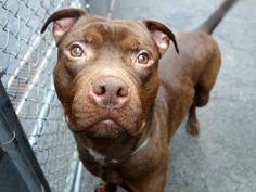 TO BE DESTROYED - SUNDAY - 03/23/14, URGENT - Manhattan Center    PROSPECT - A0994094    MALE, BROWN, PIT BULL MIX, 1 yr  STRAY - STRAY WAIT, NO HOLD  Reason STRAY   Intake condition NONE Intake Date 03/15/2014, From NY 10459, DueOut Date 03/18/2014, I came in with Group/Litter #K14-170865.