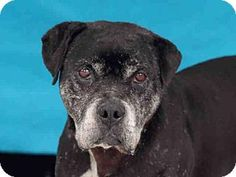 5/26/16 URGENT** *SENIOR ALERT* NEEDS RESCUE OR ADPTION-- DOESN´T HAVE MUCH TIME HIGH KILL SHELTHER--Los Angeles County Downey, CA - Pit Bull Terrier/Labrador Retriever Mix. Meet JAX, a dog for adoption. http://www.adoptapet.com/pet/15134387-downey-california-pit-bull-terrier-mix
