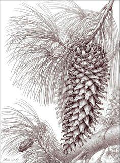 Pinus veitchii botanical illustration drawing by Gábor Emese Hungarian artist. www.gaboremese.hu