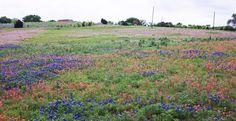 Bluebonnet Meadow