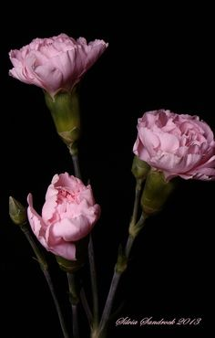 Pretty Pink Carnations