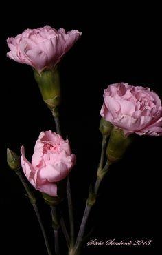 Pretty Pink Carnations